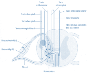 Alteraciones supraespinales