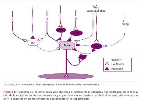 Regulación Motoneurona ALFA